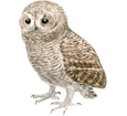 Tawny Owl ##STADE## - coat 17