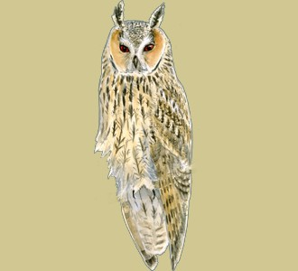 Take in a long-eared owl species mountain animal