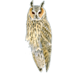 Long-eared Owl ##STADE## - coat 12