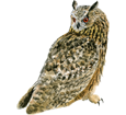 Eagle-Owl ##STADE## - coat 12