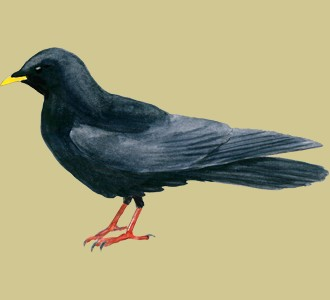Take in a chough species mountain animal