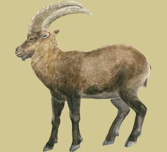 Take in a alpine ibex species mountain animal