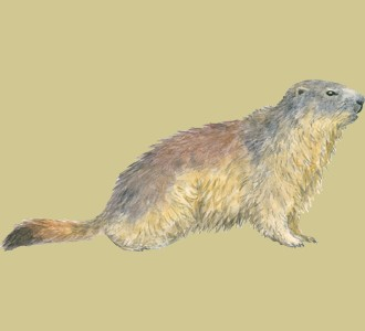 Take in a marmot species mountain animal