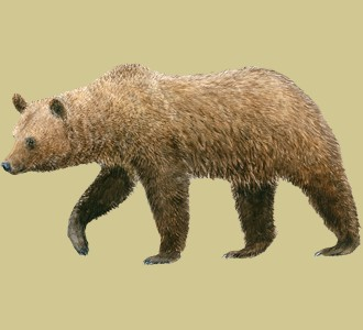 Take in a brown bear species mountain animal