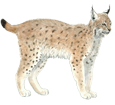 Lynx ##STADE## - coat 29