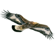 Golden Eagle ##STADE## - coat 69