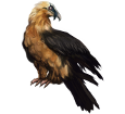 Bearded vulture ##STADE## - coat 36