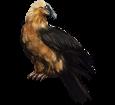 Bearded vulture ##STADE## - coat 36