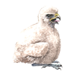 Peregrine Falcon ##STADE## - coat 29