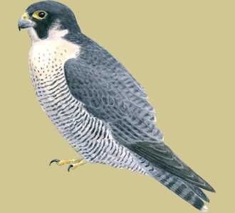 Take in a peregrine falcon species mountain animal